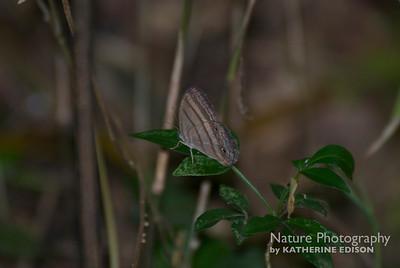 Ocnus Ringlet Butterfly
