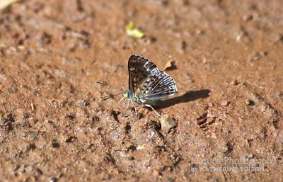 Glittering Sapphire Butterfly