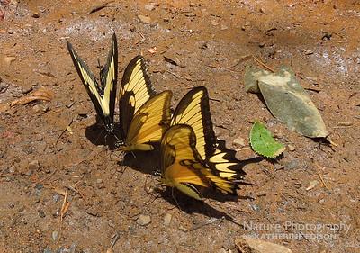 Broadbanded Swallowtails