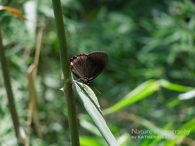 Red Rim or Crimson-banded Black Butterfly