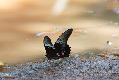 Lysander Cattleheart Butterfly