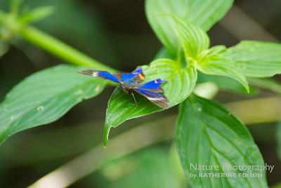 Variable Beautymark Butterfly
