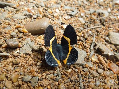 Golden Banded Gem Butterfly