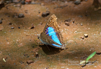 Turquoise Emperor Butterfly