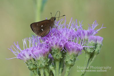 Twin Spot Skipper on Florida Paintbrush