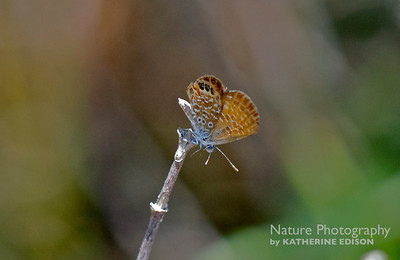 Eastern Pygmy Blue