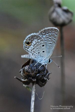 Ceraunus Blue Butterfly