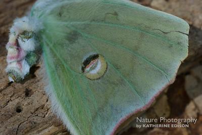 Luna Moth Wing
