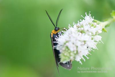Edwards Wasp Moth