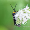 Edwards Wasp Moth