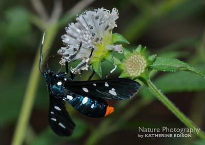 Polkadot Wasp Moth