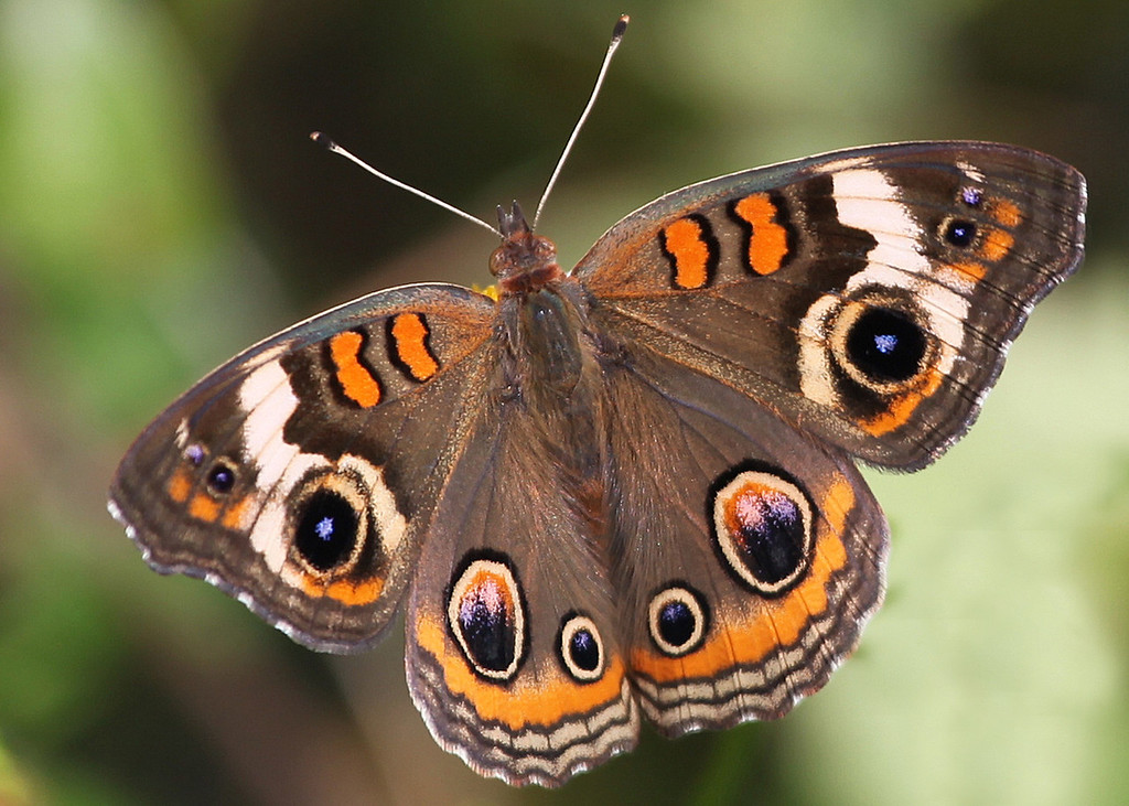 A Common Buckeye