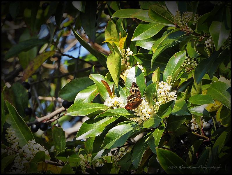 2015-03-01__3011207c20_Common Buckeye Butterfly,Clearwater,Fl