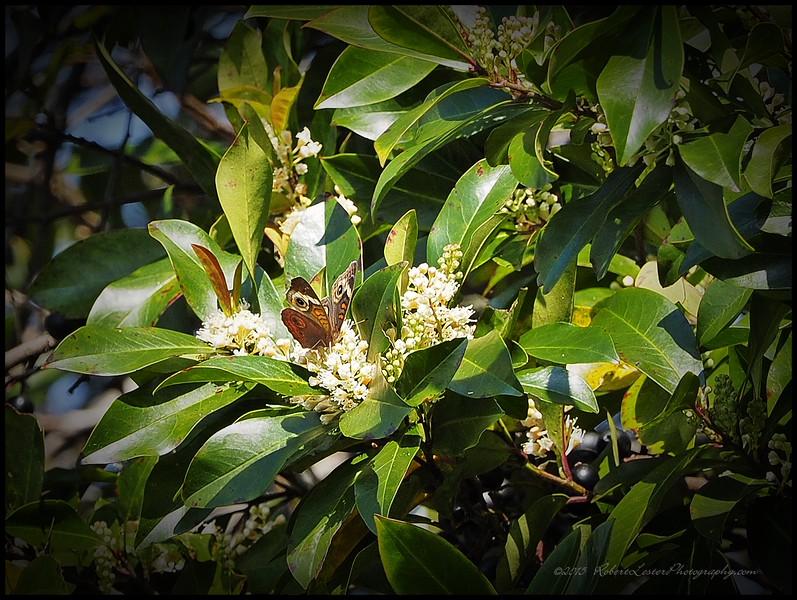2015-03-01__3011186c18_Common Buckeye Butterfly,Clearwater,Fl