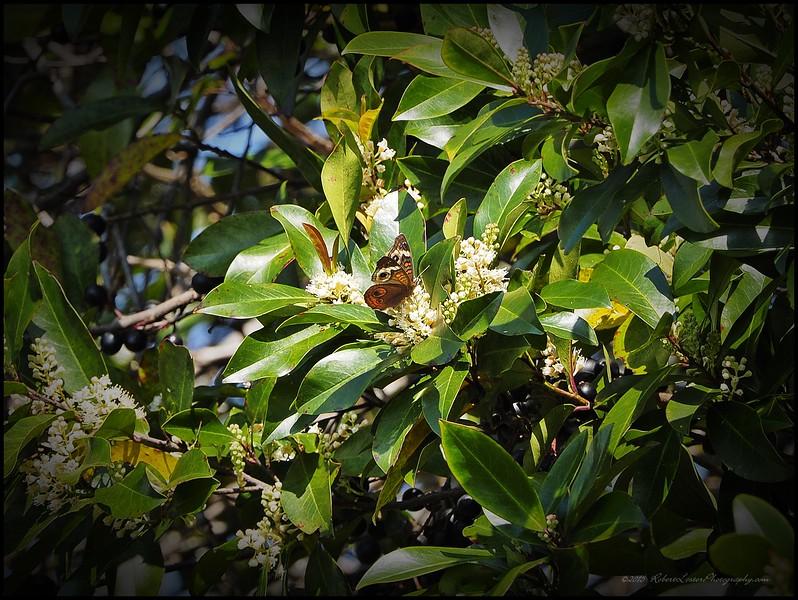 2015-03-01__3011198c25_Common Buckeye Butterfly,Clearwater,Fl