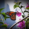 Monarch Butterfly_P1180035_2017-01-18