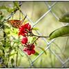 2016-07-03_P1010851_tonem,paint,lum4 0,cmi,smi_Monarch Butterfly,Clearwater,Fl