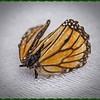 _C100002_ Monarch butterfly
