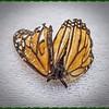 _C100001_ Monarch butterfly