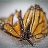 _C100005_ Monarch butterfly
