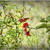 2016-07-03_P1010852_tonem,paint,lum4 0,cmi,smi_Monarch Butterfly,Clearwater,Fl