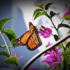 Monarch Butterfly_P1180036_2017-01-18