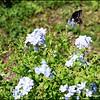 P1140168_Spicebush Swallowtail
