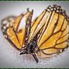 _C100004_ Monarch butterfly
