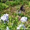P1140167_Spicebush Swallowtail