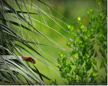 2014-06-12_IMG_1704_Soldier butterfly   Sawgrass Park,St Pete,Fl _
