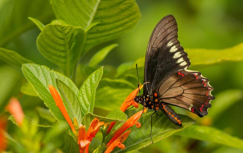 Gold Rim Butterfly