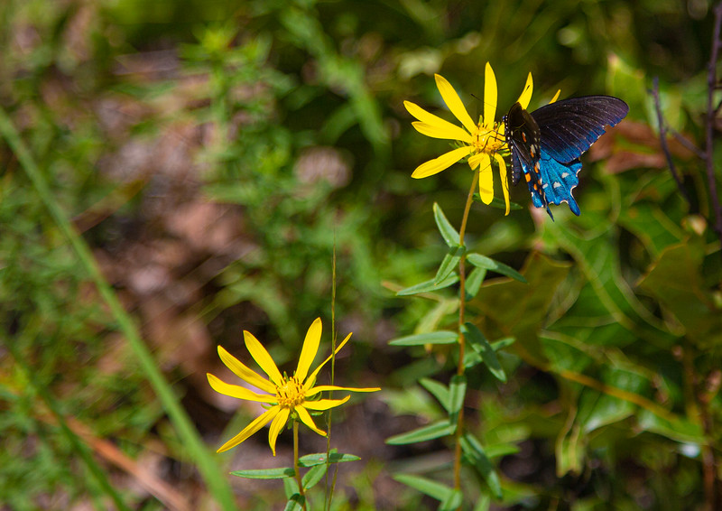 Pipevine Swallowtail