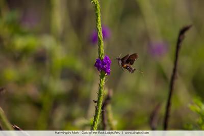 Hummingbird Moth - Cock-of-the-Rock Lodge, Peru