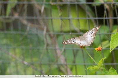 Butterfly - Barro Colorado Island, Panama