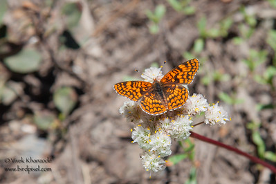 Wildflowers - Frazier Falls Trail, Plumas Natl. Forest, CA, USA