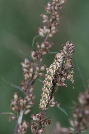 Cucullia absinthii