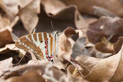 Unidentified Camouflaged butterfly - Bandhavgarh National Park, Madhya Pradesh, India