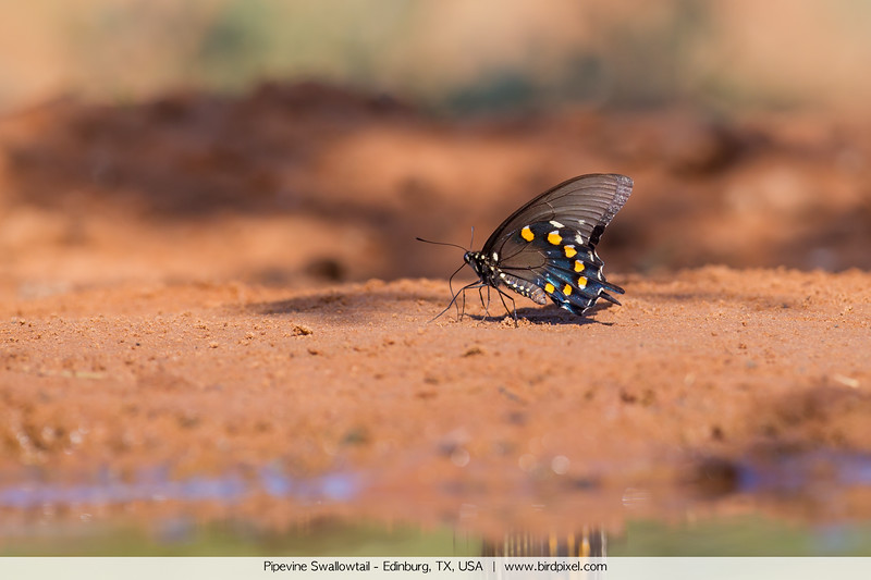 Pipevine Swallowtail - Edinburg, TX, USA