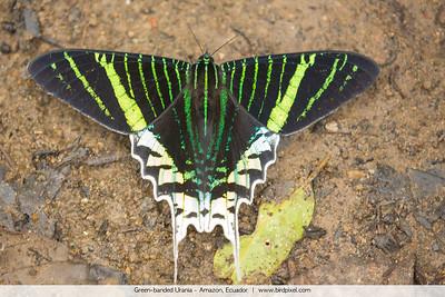 Green-banded Urania - Amazon, Ecuador