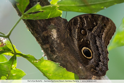 Owl's Eye Butterfly - Gamboa Rainforest Resort, Gamboa, Panama