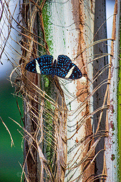Blue and black Butterfly sitting a tree with wings apart.