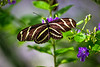 Black and brown and white Butterfly purched on a purple flower and leaves.