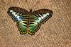 Yellow and green and white Butterfly sitting on a brown slanted background.