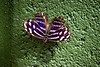 Purple and white and blue Butterfly sitting on a green surface.