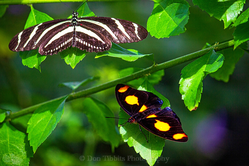 Two Butterflies sitting on green leaves