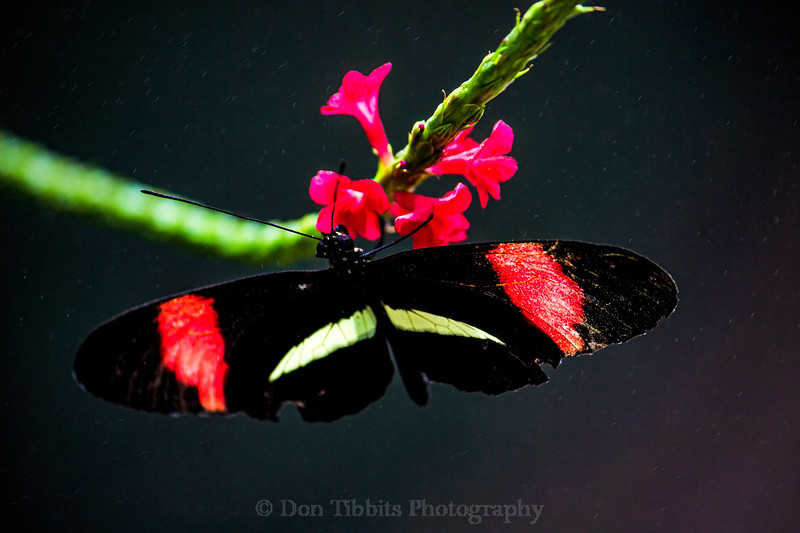 Butterfly perched on pink flowers and green plant with purplish background.
