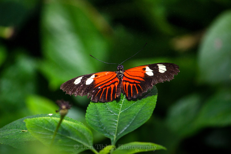 Orange and black and white Butterfly sitting on a leaf.