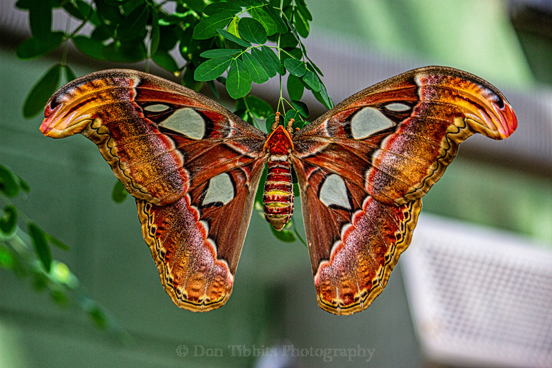 Full body shot of a large gold and orange and brown and white Butterfly hanging from a leaf.