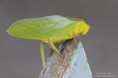 Catydid - Barro Colorado Island, Panama
