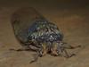 Cicada, Booyong
